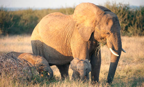 Elephant with two young calves grazing on grassland in South Africa/