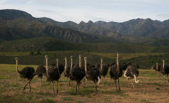 Flock of ostriches running across the grassland in South Africa/