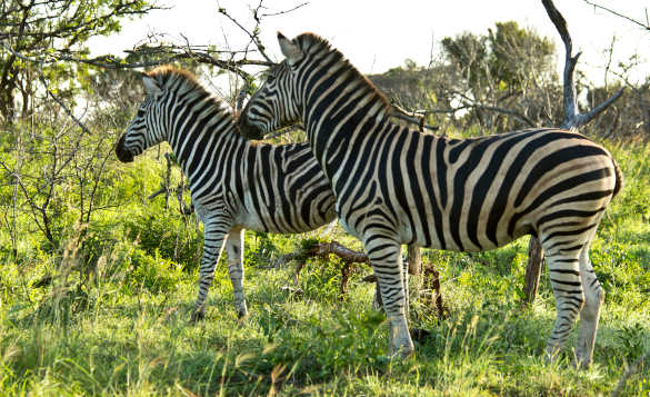 Two zebras on grassy plains in South Africa/