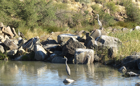 Herons standing on rocks by a river in Namibia/