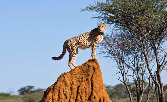 Cheetah standing on a large rock./