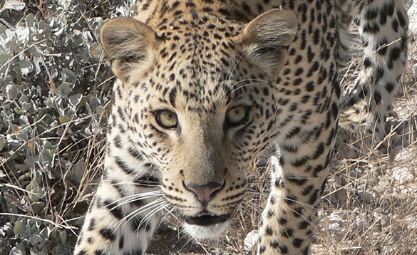 Close up of a leopard's face./