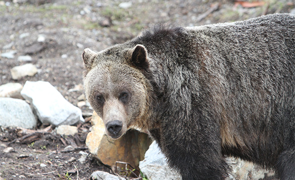 Close up of a brown bear surrounded by rocks/