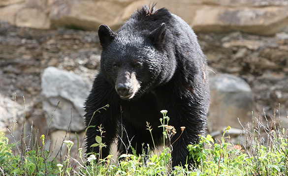 Dark brown bear surrounded by rocks/