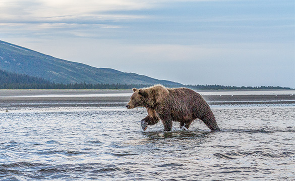 Brown bear walking through shallow water with steep hills in the background/