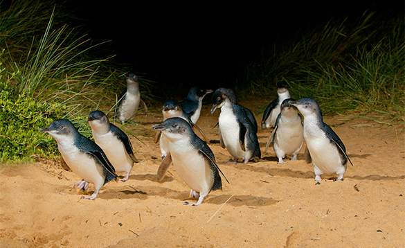 Penguins walking across sand in Australia/