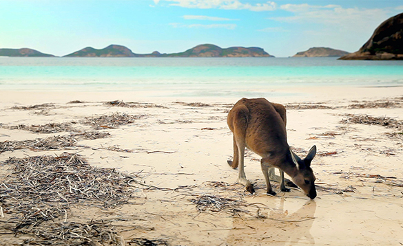 Kangaroo on a beach in Australia/