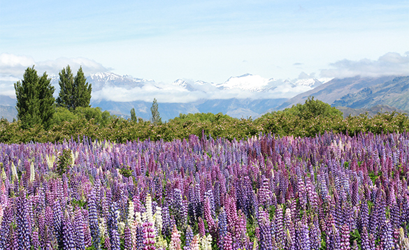 Purple flowers in front of snow capped mountains in New Zealand/