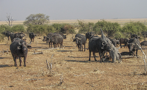 Herd of buffalo standing in the African bush/
