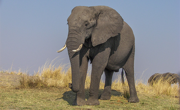 Large elephant standing on grassland in Africa/