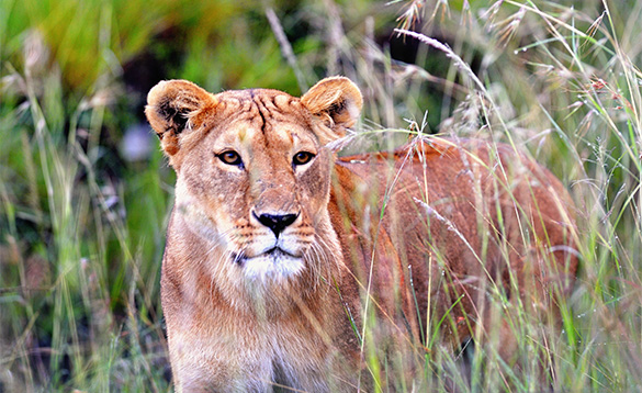 Lion in the African grasslands/