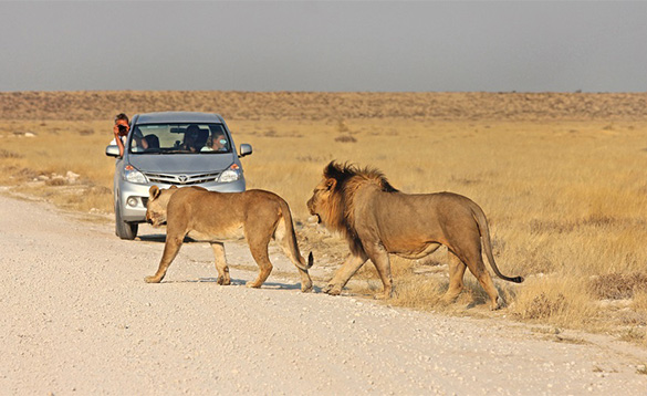 Lions in Namibia/