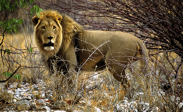 Lion in Namibia, Africa/