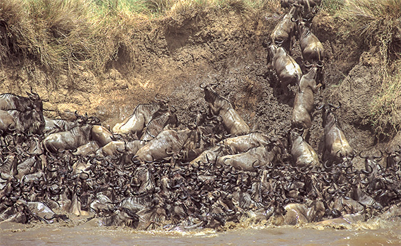 Big group of wildebeest in water, with some climbing up onto the bank./