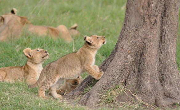Three lion cubs playing around a tree. An adult lion can be seen in the background./