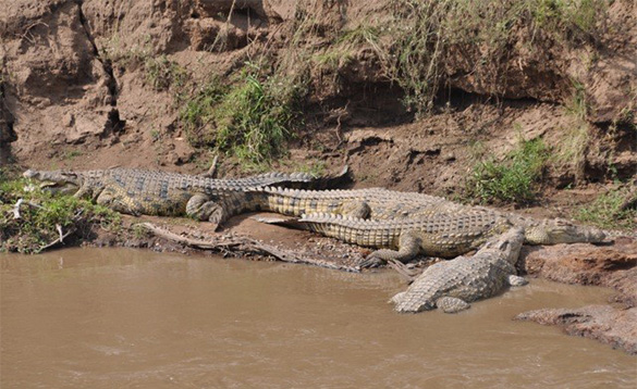 Crocodiles at rest/