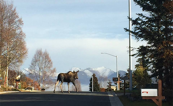Moose in Anchorage/