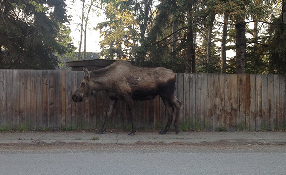 Moose in the city Anchorage/