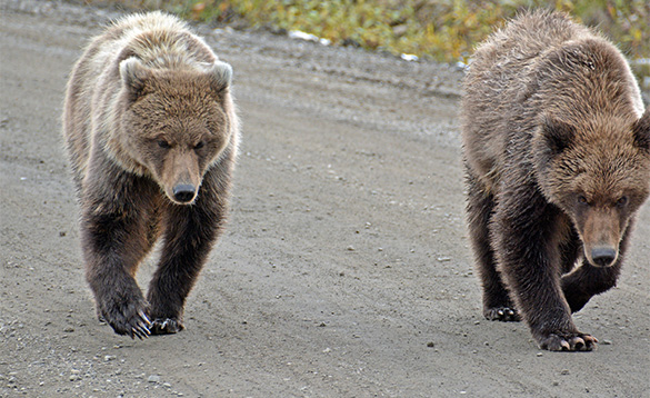 Grizzly pair on a mission by Ann Leisenring Denali/