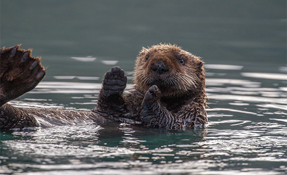 Sea otter floating on a river in Alaska/