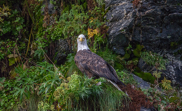 Eagle sat on grass covered rocks/