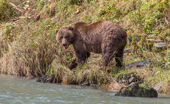 Brown bear walking along the edge of a river in Alaska/