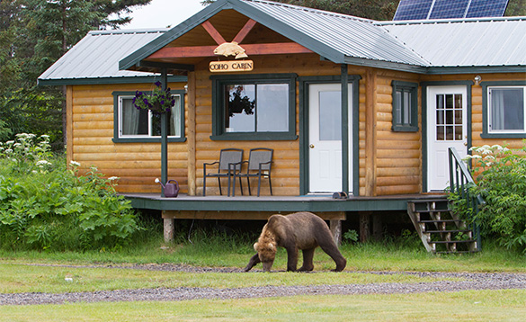 Young grizzly bear walking past a log cabin in Alaska/