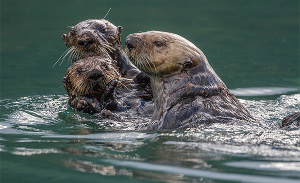 Three sea otters playing in water in Alaska/