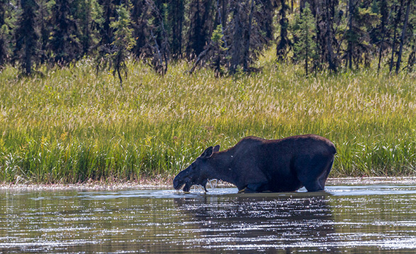 moose wading through a river heading towards a grass covered river bank/