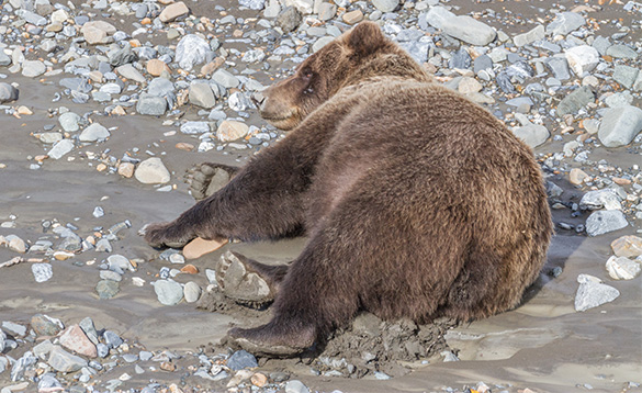 grizzly bear laying on a sandy beach with stones and pebbles scattered across it/