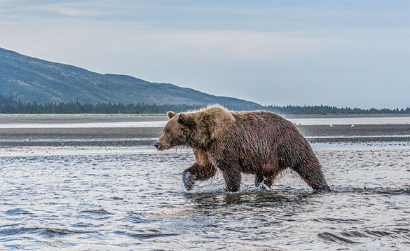 Grizzly bear walking through shallow water with mountains in the background/