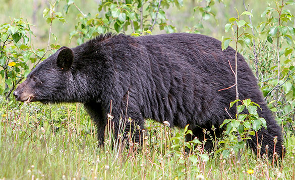 black bear walking through long grasses/