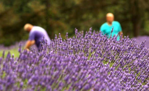 People collecting purple lavendar at a lavendar farm in Jersey/
