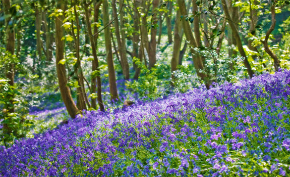 Scenic woodland with colourful bluebells/