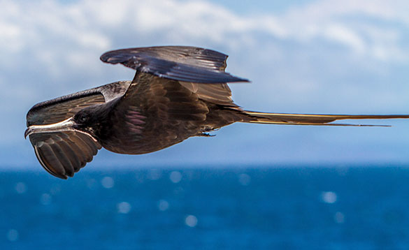 close up of a frigate bird in flight with brown feathers, white beak and long tail/