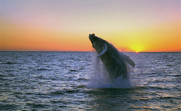 Humpback whale leaping out of the sea near Iceland/