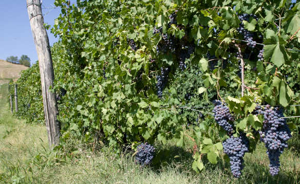Purple grapes ripening on vines at a vineyard in Italy/