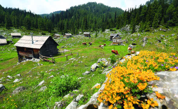 View across a mountain pasture to wooden houses and catle grazing in Slovenia/