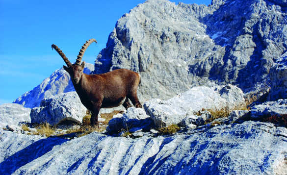 Alpine Ibex standing on craggy cliffs in the Julian Alps, Slovenia/