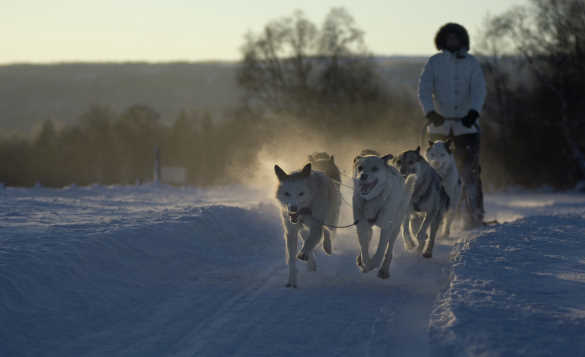 Huskies pulling a man and a sledge across snow in Norway/