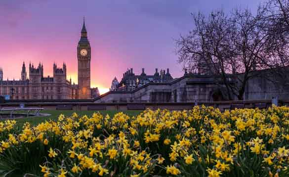 Daffodils in front of the Houses of Parliament in London/