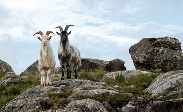 Two goats on rocky hills in Co Cork/