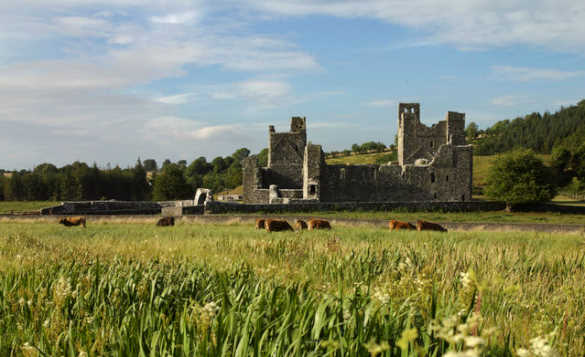 Cattle grazing infront of the stone ruins of Fore Abbey/