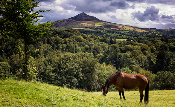 Horse grazing in a field with Sugarloaf Mountain, Co Wicklow in the background/