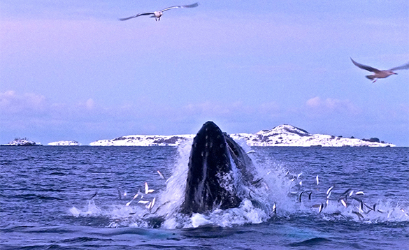 Humpback whale feeding in a fjord in Norway/