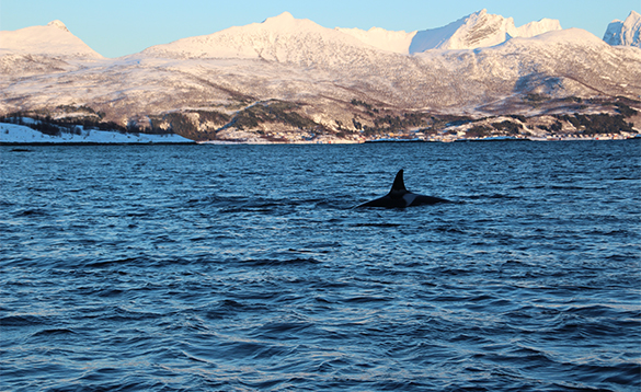 Orca swimming in a fjord in Norway/