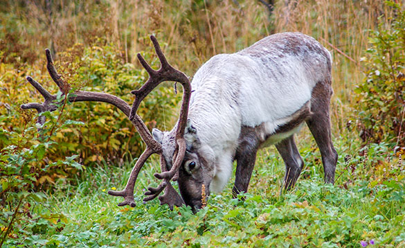 reindeer with white winter coat and large antlers grazing/