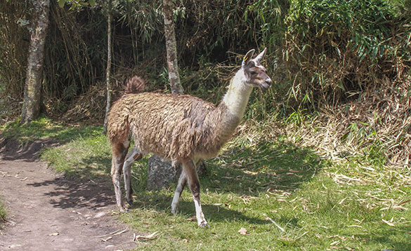 llama walking along a grassed area by a dirt path/