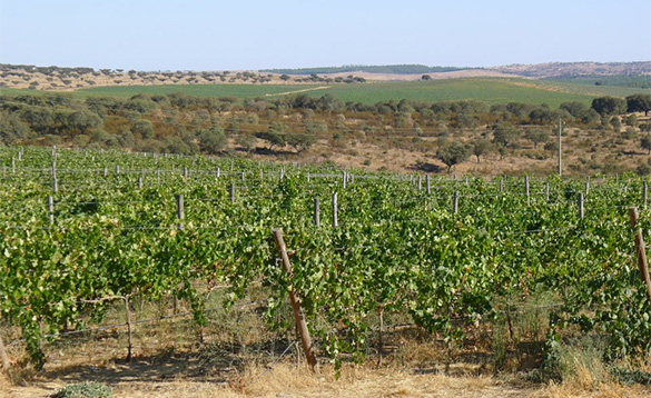 Portugese hillside with rows of grape vines/