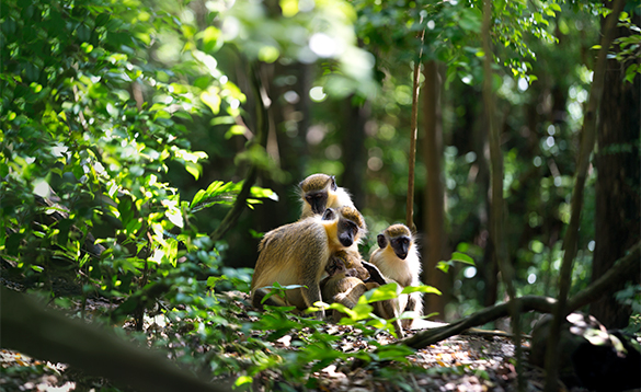 Monkeys sat amongst trees in Barbados/